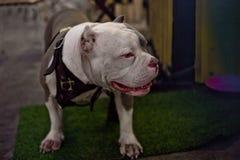 Intimideer hondportret Royalty-vrije Stock Foto's