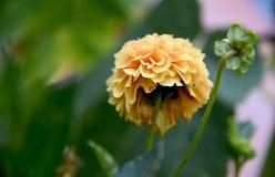 Intimiteit van een decadente dahlia stock foto's