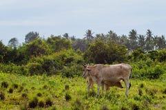Intimorisca e partorisca pascendo su un prato verde nel giorno soleggiato Animali da allevamento Immagini Stock Libere da Diritti