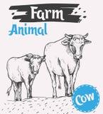 Intimorisca e una passeggiata del vitello lungo la strada Immagine Stock
