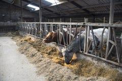 Intimorisca il concetto dell'azienda agricola dell'agricoltura, gregge di A delle mucche Immagine Stock Libera da Diritti