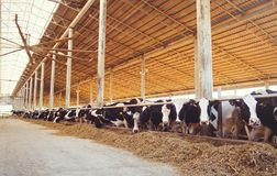 Intimorisca il concetto dell'azienda agricola dell'agricoltura, l'agricoltura ed il bestiame - un gregge delle mucche che utilizz Immagini Stock Libere da Diritti