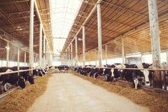 Intimorisca il concetto dell'azienda agricola dell'agricoltura, l'agricoltura ed il bestiame - un gregge delle mucche che utilizz Immagine Stock