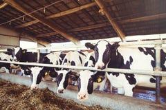 Intimorisca il concetto dell'azienda agricola dell'agricoltura, l'agricoltura ed il bestiame - un gregge delle mucche che utilizz Fotografia Stock