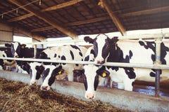 Intimorisca il concetto dell'azienda agricola dell'agricoltura, l'agricoltura ed il bestiame - un gregge delle mucche che utilizz Fotografie Stock Libere da Diritti