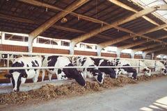 Intimorisca il concetto dell'azienda agricola dell'agricoltura, l'agricoltura ed il bestiame - un gregge delle mucche che utilizz Fotografia Stock Libera da Diritti