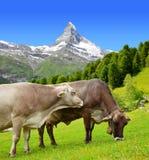 Intimorisca il pascolo nel prato nelle alpi della pennina, Svizzera Immagini Stock Libere da Diritti