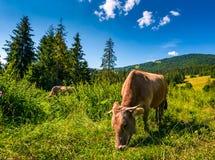 Intimorisca il pascolo in un'erba alta vicino alla foresta Fotografie Stock Libere da Diritti