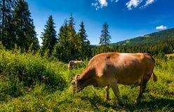 Intimorisca il pascolo in un'erba alta vicino alla foresta Fotografia Stock