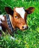 Intimorisca la menzogne in un campo con erba verde Fotografia Stock Libera da Diritti