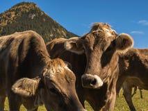 Intimorisca la museruola su un prato sul campo in Svizzera sui precedenti delle alpi svizzere Fotografia Stock Libera da Diritti