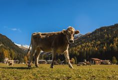 Intimorisca la museruola su un prato sul campo in Svizzera sui precedenti delle alpi svizzere Fotografia Stock