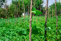 Intimorisca le piante di pisello che crescono nel giardino del cortile sotto il sole Fotografia Stock Libera da Diritti
