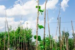 Intimorisca le piante di pisello che crescono nel giardino del cortile sotto il sole Immagine Stock Libera da Diritti