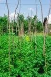 Intimorisca le piante di pisello che crescono nel giardino del cortile sotto il sole Fotografia Stock