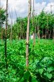 Intimorisca le piante di pisello che crescono nel giardino del cortile sotto il sole Immagini Stock Libere da Diritti
