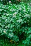 Intimorisca le piante di pisello che crescono nel giardino del cortile sotto il sole Fotografie Stock Libere da Diritti