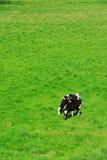 intimorisce l'Holstein fotografia stock