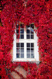 intorno alla finestra rossa della Virginia del creeper Fotografia Stock