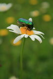 Intoxicated. Bug eating intoxicated on a Daisy Stock Image