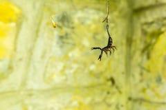 Intrappolato: Scorpione in un web fotografia stock