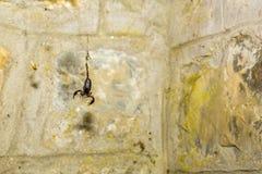 Intrappolato: Scorpione in un web immagini stock