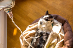Intravenous drip cat royalty free stock image