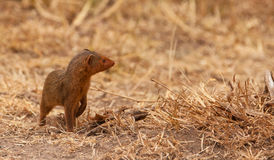 A intrepid Dwarf Mongoose. The Dwarf Mongoose (Helogale parvula) is one of the cutest little mammals of the African Continent Stock Photography