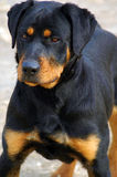 Intrepid Rottweiler,Head Up Stock Photos
