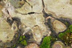 Intressant textur på klippt träd Royaltyfri Foto