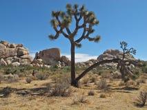 Intressera Joshua Tree i Joshua Tree National Park, Kalifornien Arkivfoton