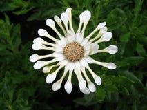 intressera white för blomma Arkivfoto