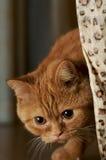 intresserad katt Arkivfoton