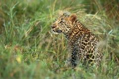Intresserad leopard Cub1 Arkivfoton