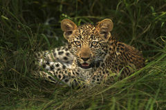 Intresserad leopardgröngöling Arkivfoton