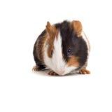 intresserad pig för frontal guinea Arkivfoton