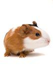 intresserad pig för guinea Royaltyfri Foto