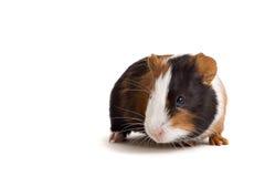 intresserad pig för guinea Fotografering för Bildbyråer