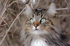Intresserade sikter av en ung norrman Forest Cat Arkivbilder
