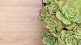 Intricate Cactus and Succulent Echeveria plant, from Crassulaceae family. Light colored wooden surface with copy space. Horizontal photo of intricate Cactus and stock photos