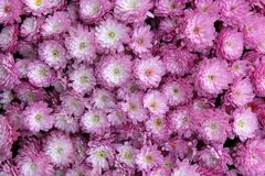 Intricate detail in bright purple and white flowers in someone`s backyard garden stock image