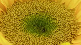 Sunflower Blooming Closeup