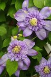 Double bluish purple clematis flowers growing in a spring garden Royalty Free Stock Images