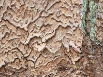 Intricate tree bark. Intricate puzzle shaped tree bark of a Ponderosa Pine royalty free stock image