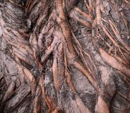 Intricate Root System. The trunk of a Banyan Tree with its complex surface roots Stock Images