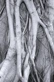 Intricate Root System. The trunk of a Banyang Tree with its complex surface roots Stock Images