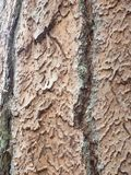 Intricate tree bark. Intricate puzzle shaped tree bark of a Ponderosa Pine stock image