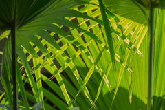 Intricatelly interwoven palm leafs in sunlight. Pattern of interwoven palm leaves illuminated from the back create a natural background Royalty Free Stock Photography