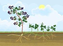 Intrig för reproduktion för Blackberry växt vegetativ vektor illustrationer