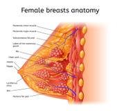 Intrig för vektor för mänsklig kvinnligBrest anatomi medicinsk royaltyfri illustrationer